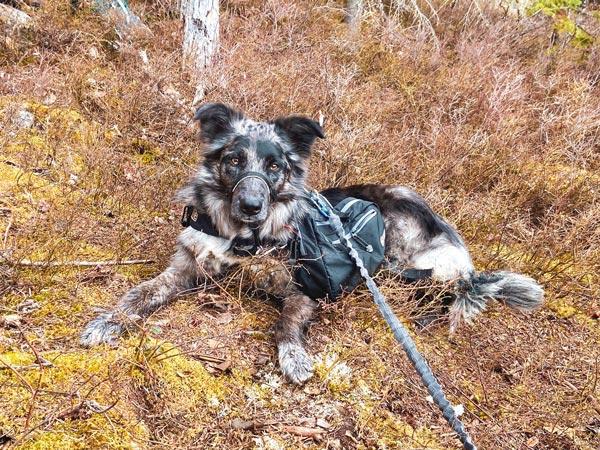 Chien Border Collie couché dans la forêt. Il porte un sac à dos et est en laisse.