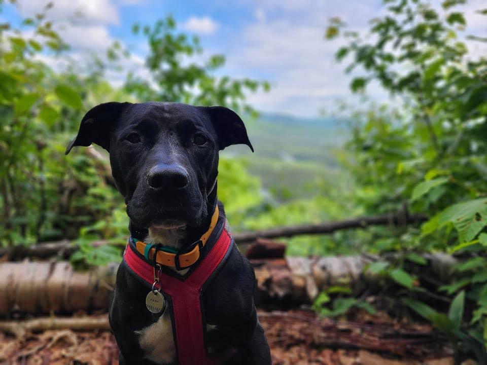 Enzo porte son harnais de canicross rouge. Il est assis et regarde la caméra. Derrière lui se trouve le point de vue avec un paysage de montagnes et de forêt.