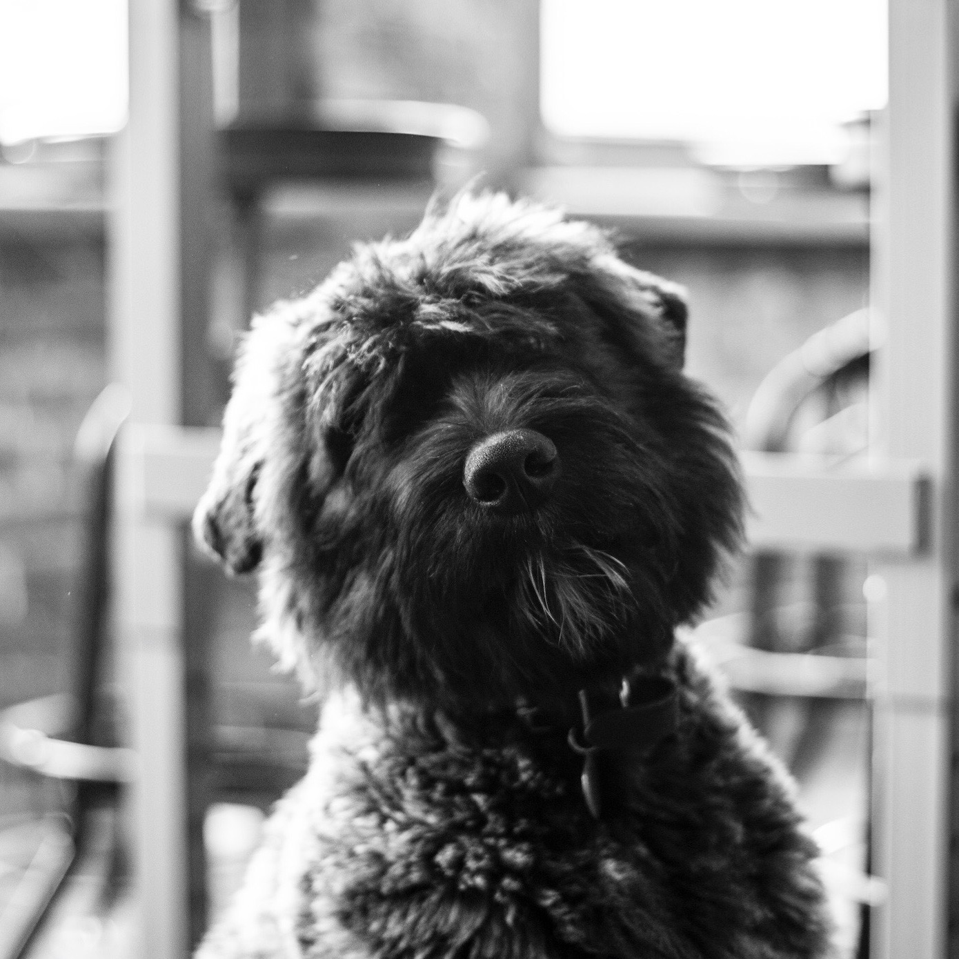 Bouvier puppy