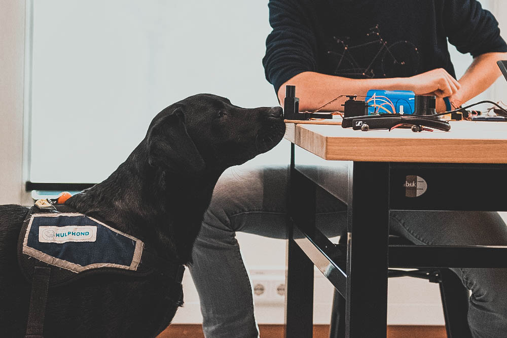 Guidance dog sniffing a prototype of a cookie dispenser