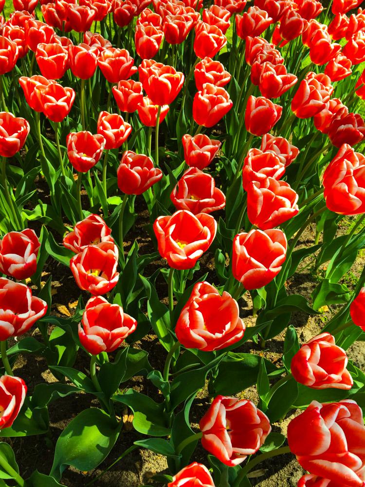 Tulipes - La Haie (Pays-Bas) - François B. pour Photo-to-go
