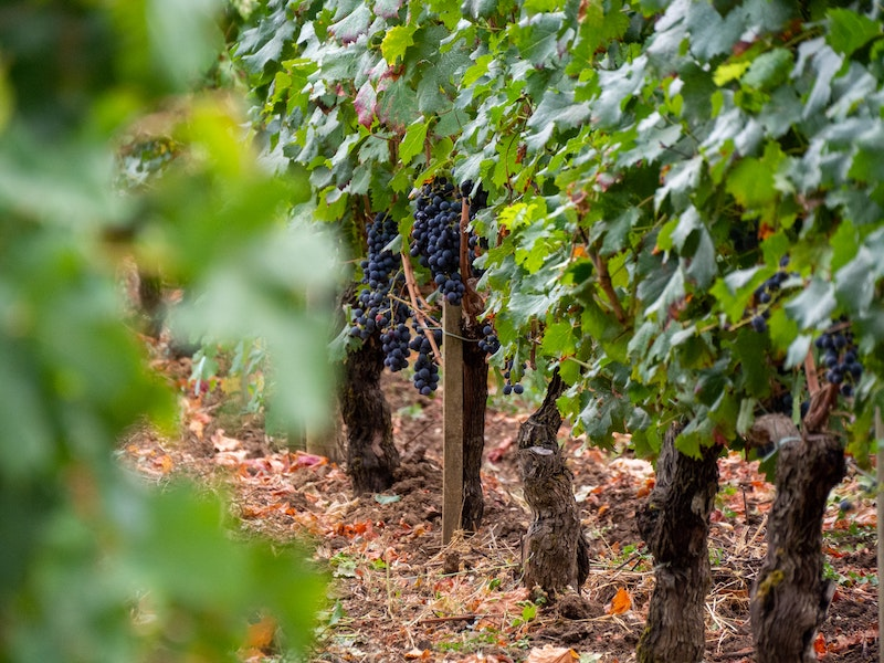 A vineyard with red grapes just before harvest