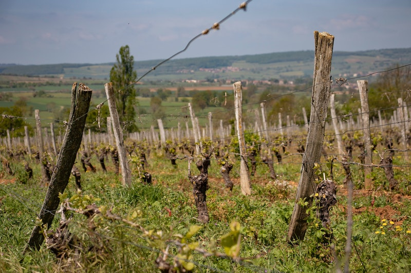 A young vineyard in Burgundy