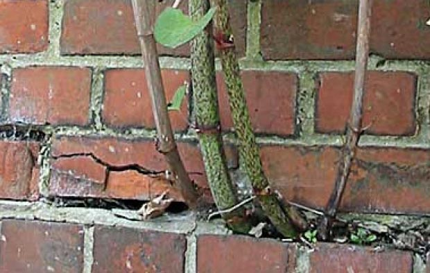 Japanese Knotweed roots growing through a brick wall.