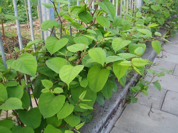 "Japanese knotweed leaves, and their characteristic ""shovel"" shape"