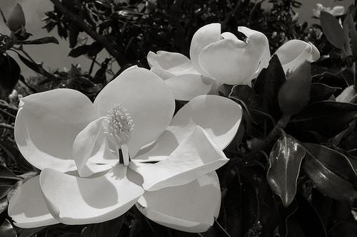 Magnolia by Daniel Oines