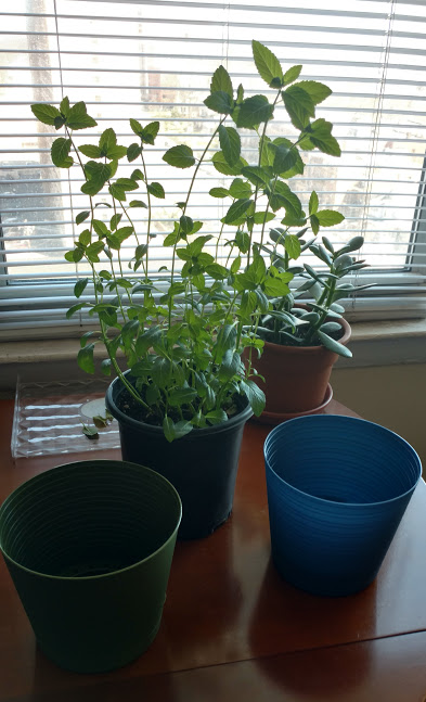 My Mint plants