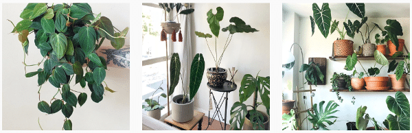 growing philodendron plants indoors