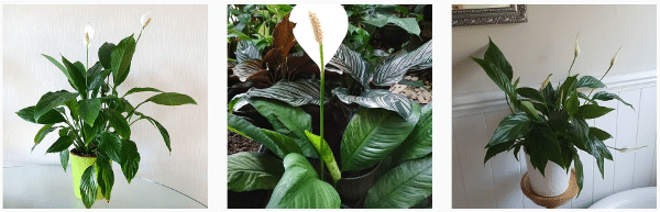 indoor peace lily plants