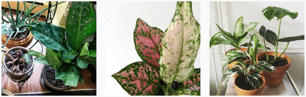 chinese evergreen plants