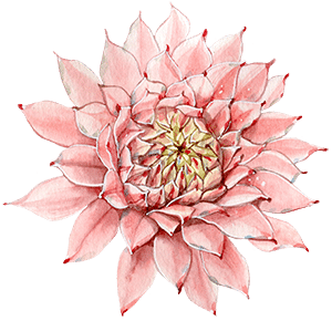 caring for pink succulents indoors