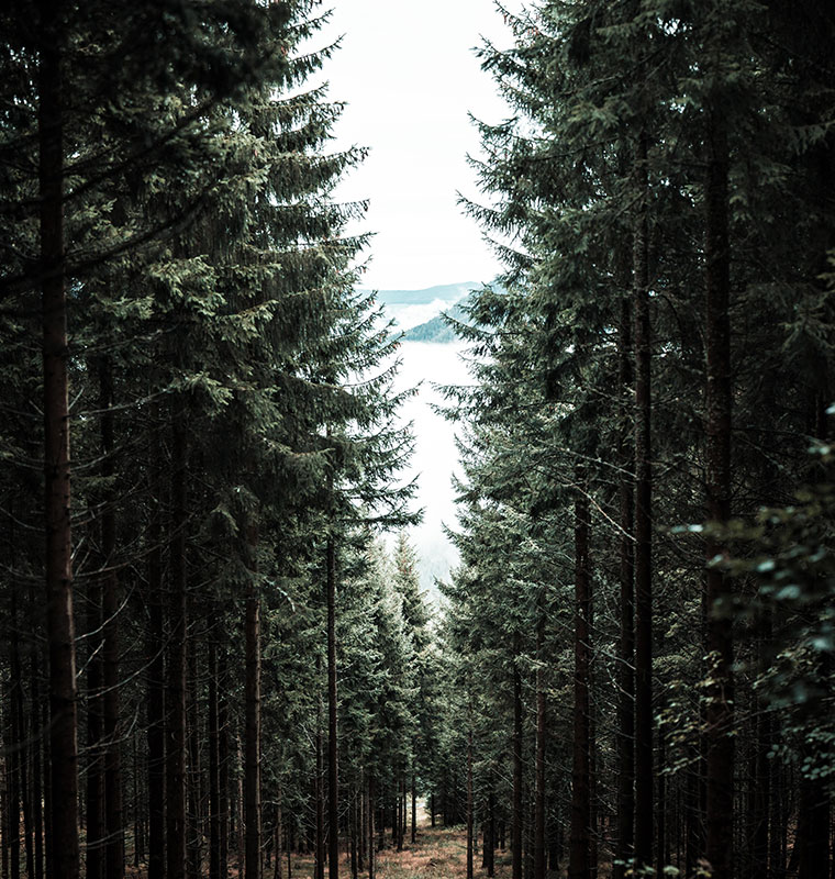 pine-tree lined road