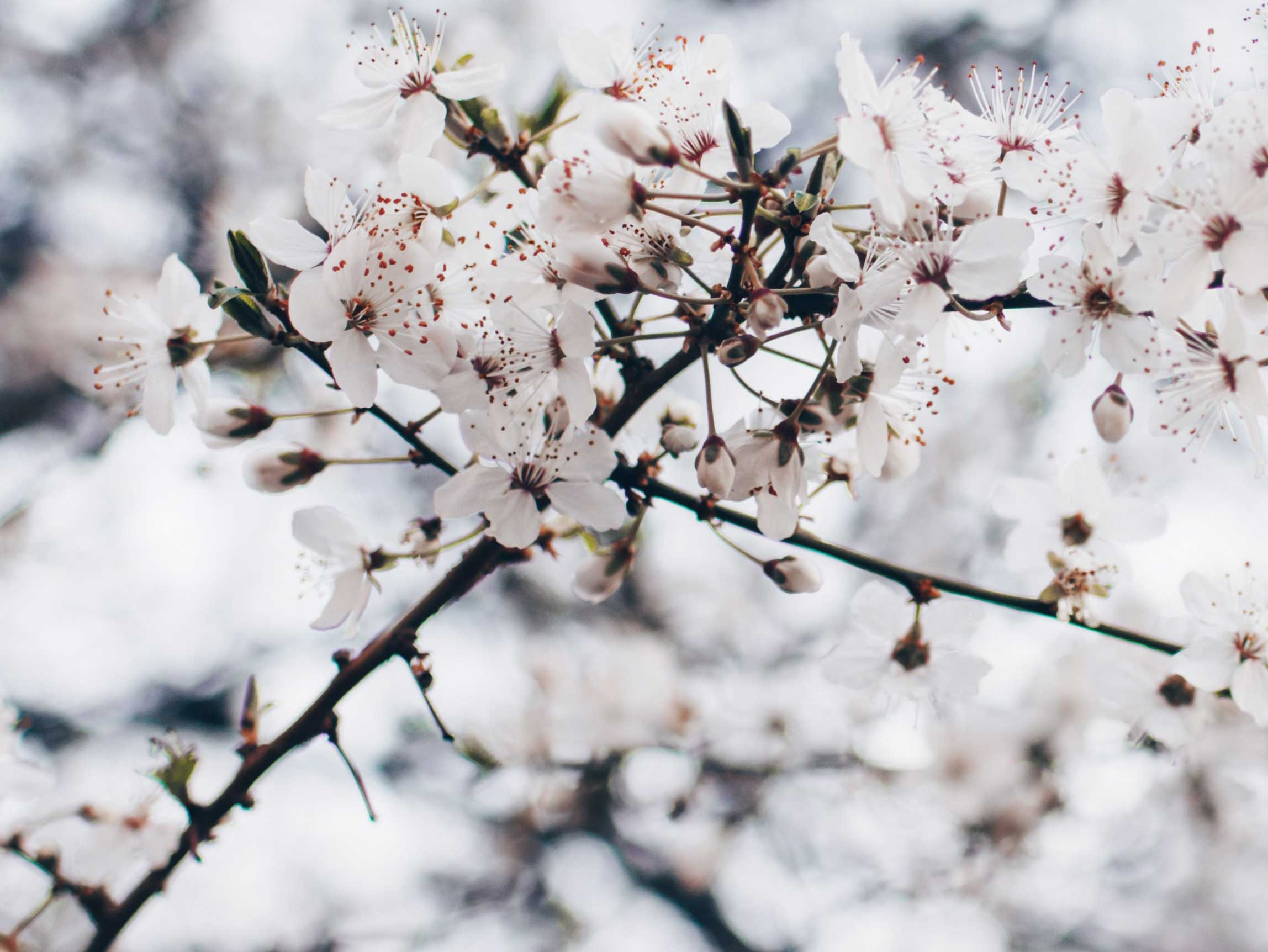 White blossom in spring.