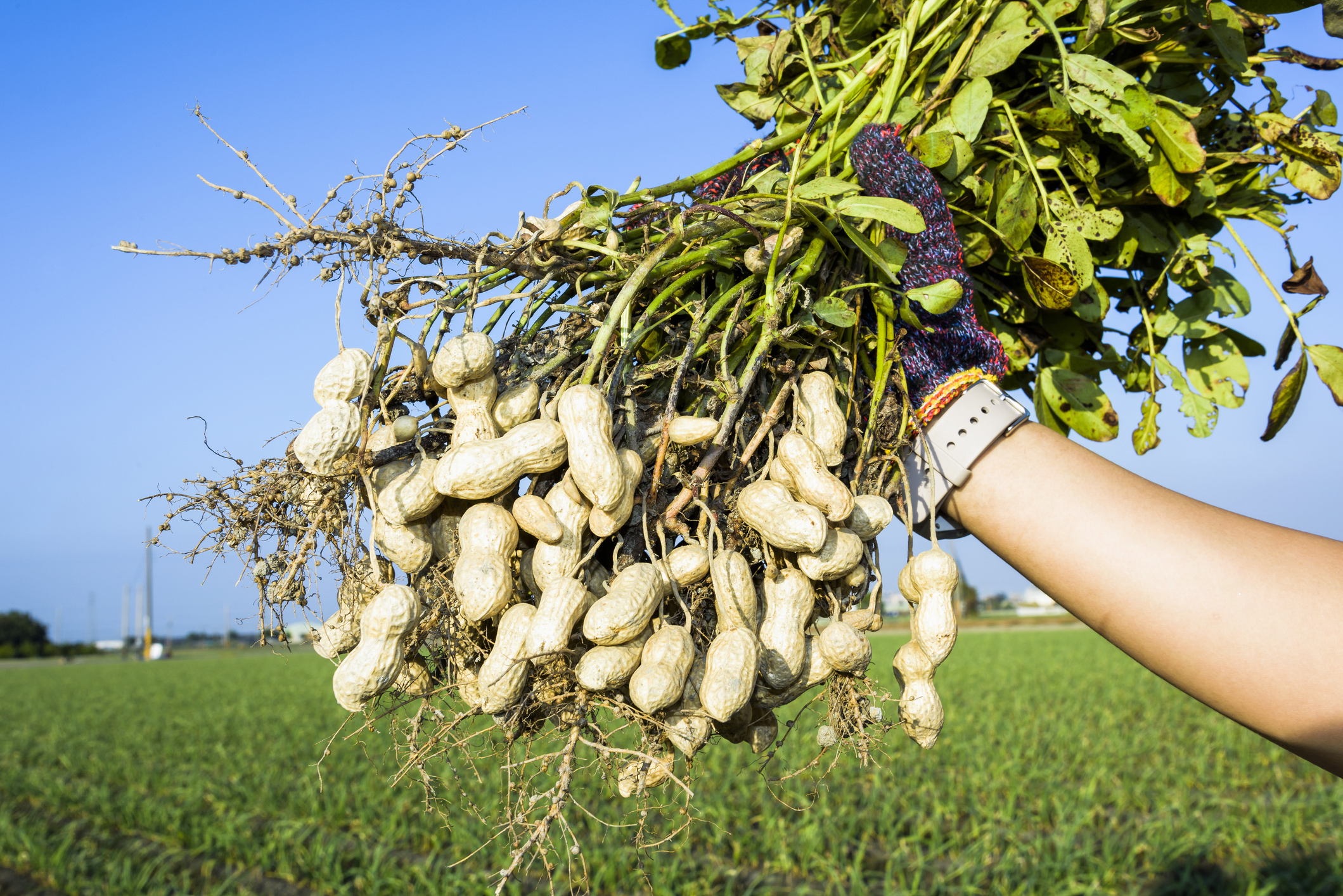 Peanuts:  Confirming Food Quality & Safety From the Ground Up