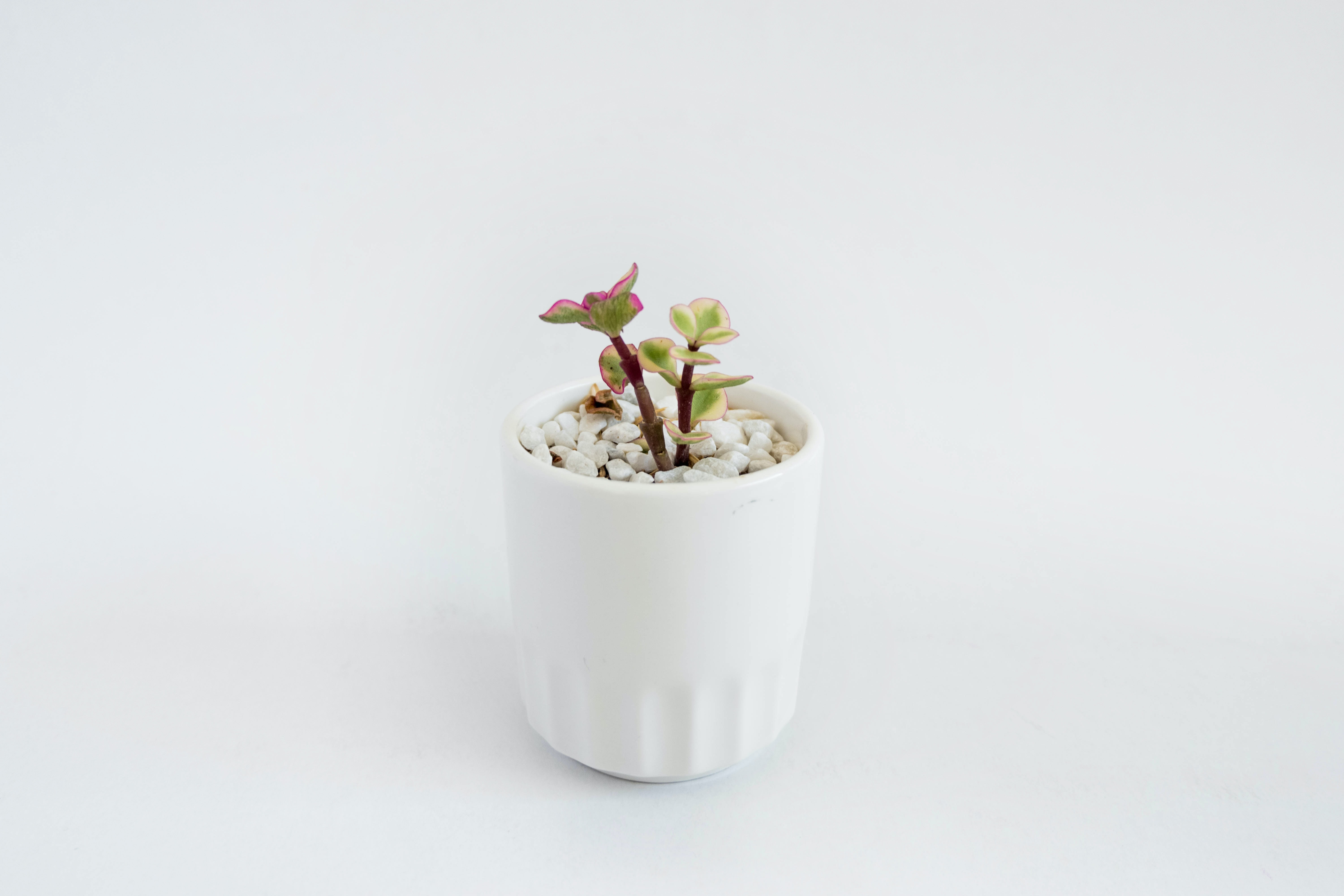 Small succulent plant in a white pot on a bight white background