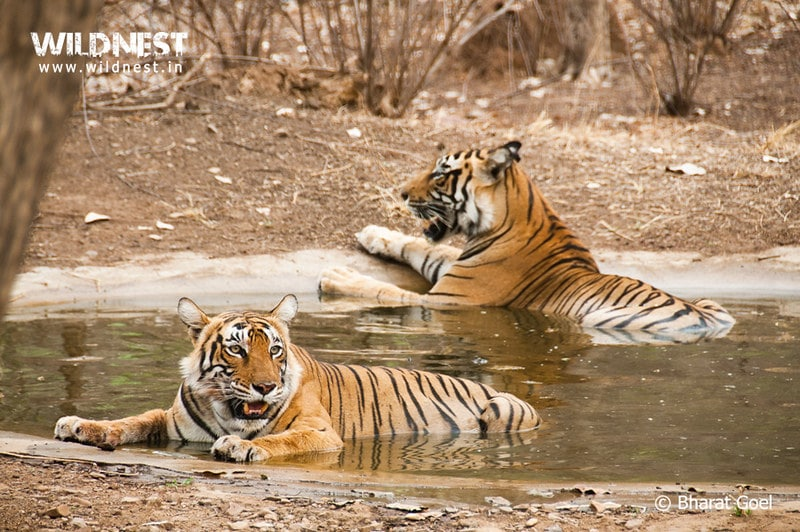 2 Tigers enjoying in water hole at Ranthambore Tiger Reserve