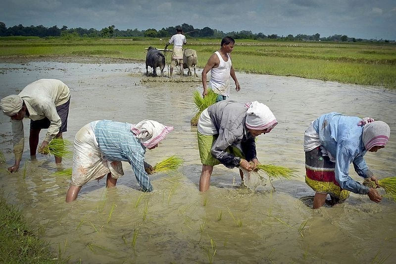 Women planting paddy seedlings in agricultural field
