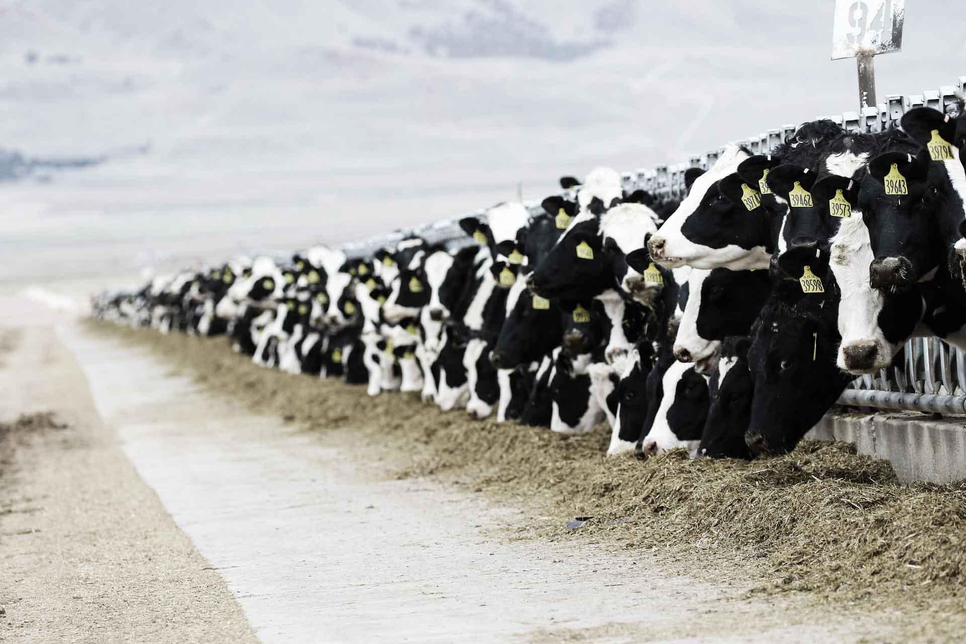 The Dairy Debacle
