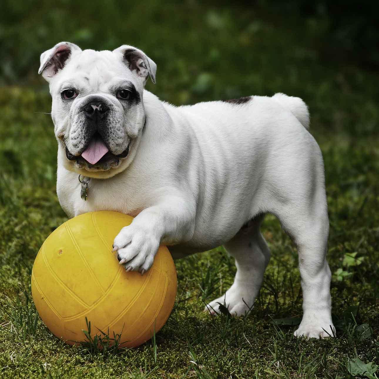 English bull dog and a ball