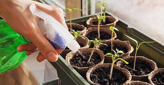 watering cannabis seedling