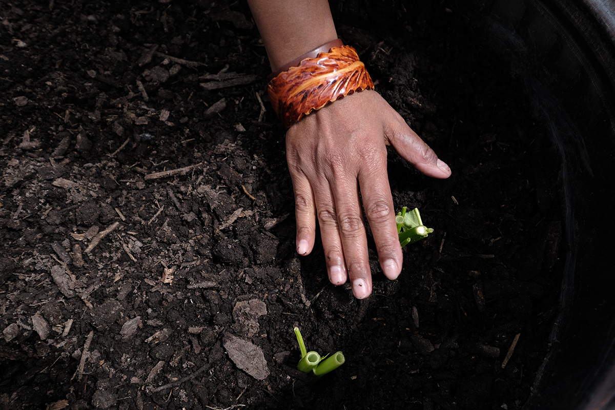 Hand of Micronesian woman planting water spinach