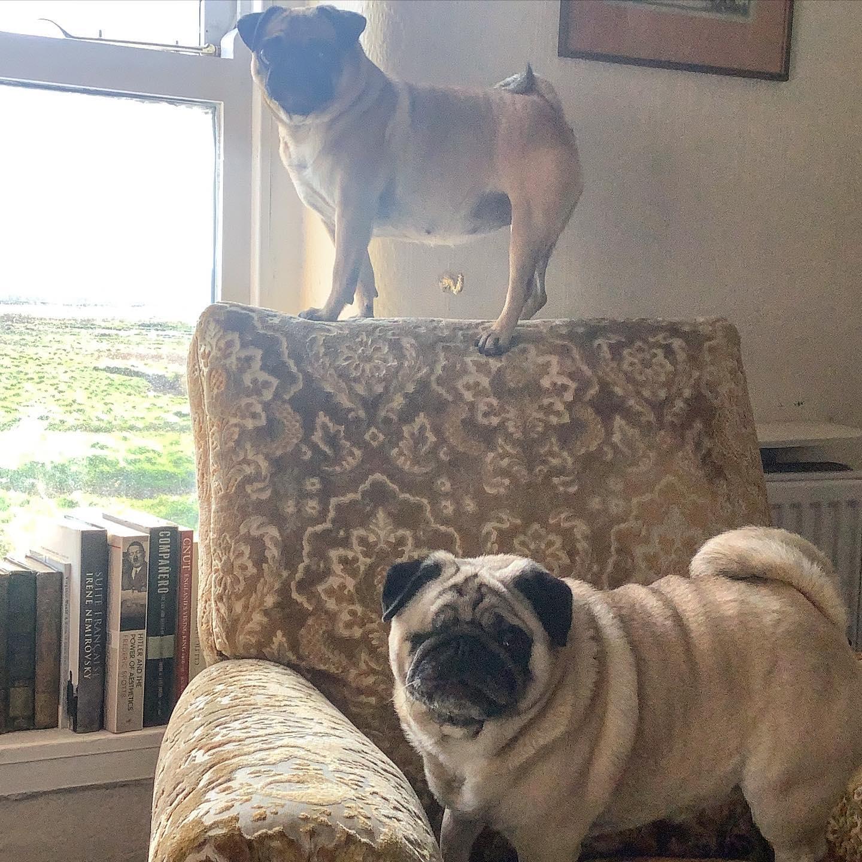 #barkingpugs #pugs #daftpugs##puglife