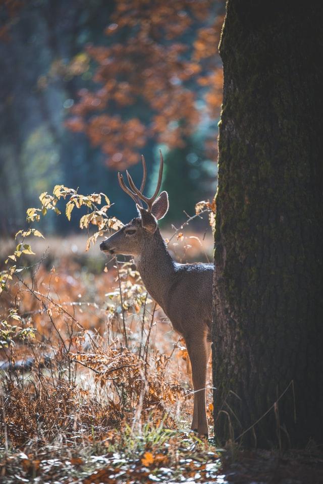 Photo of deer in the woods