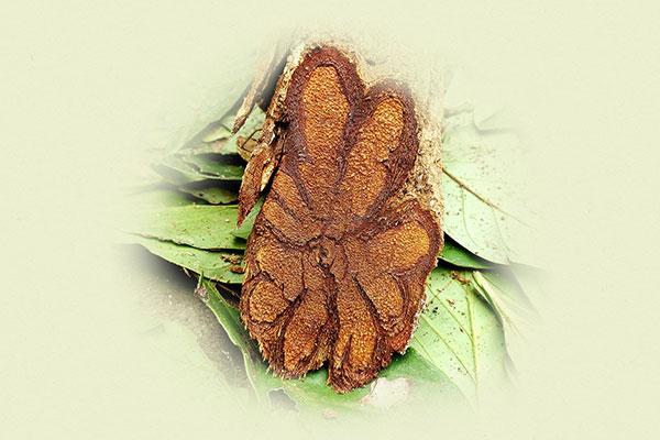 Image of Ayahuasca vine