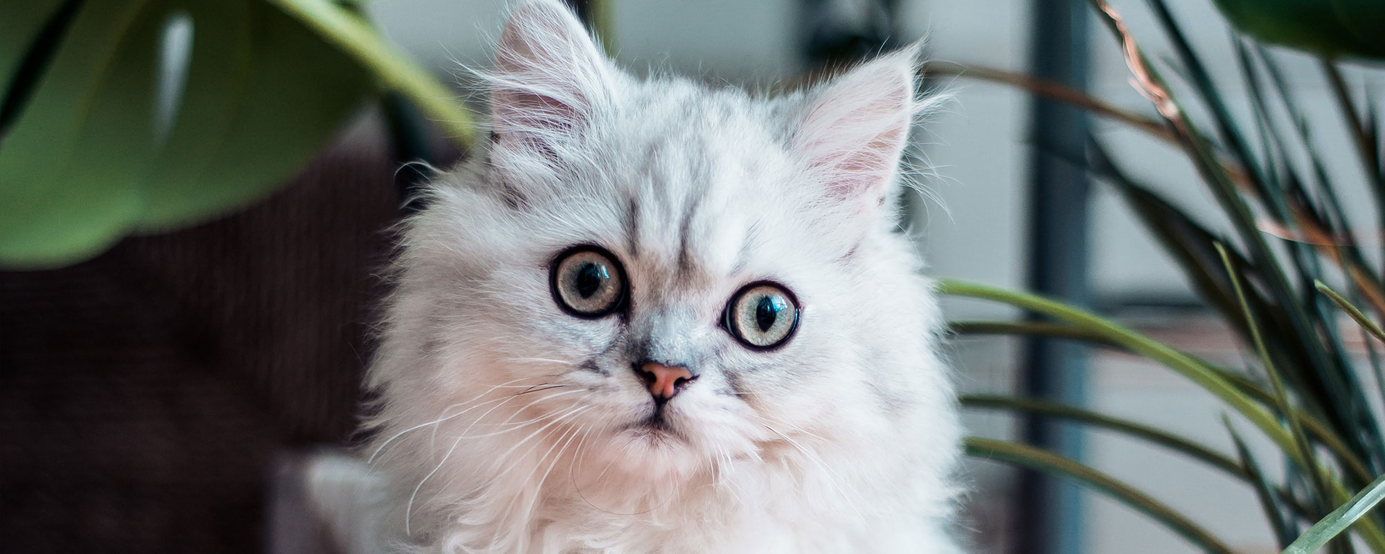 white cat with wide scared eyes