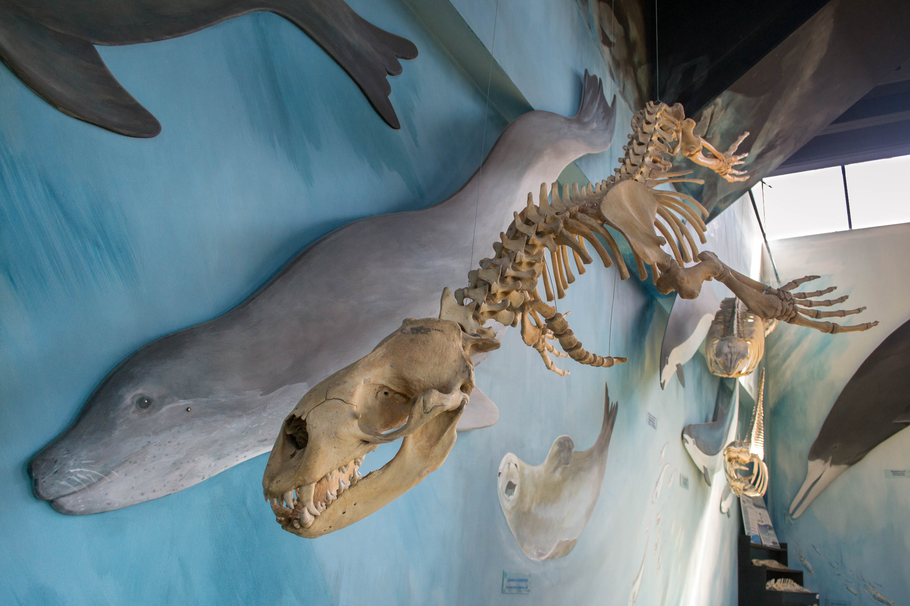 Leopard Seal skeleton with a live representation painted behind.