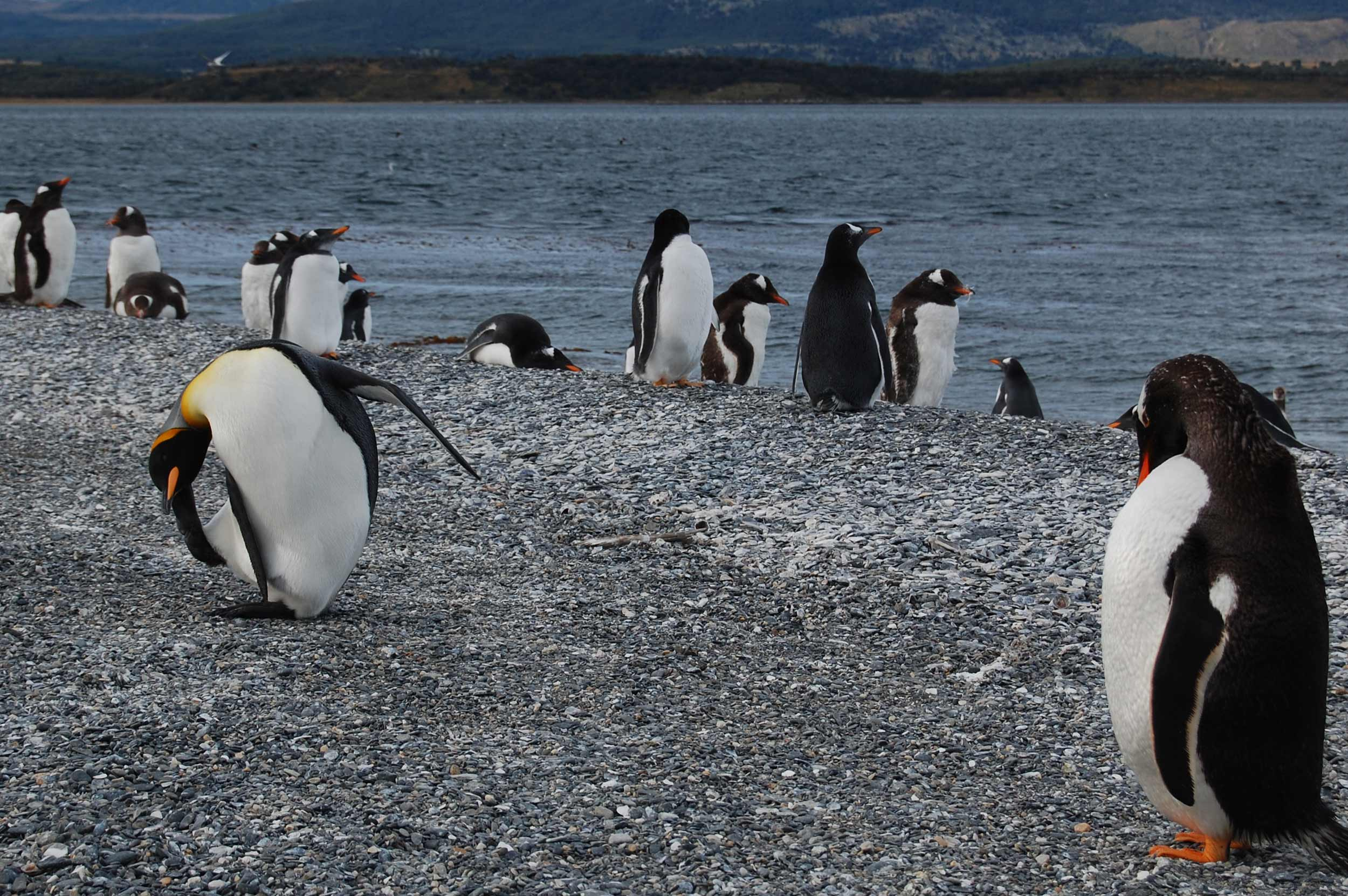 Colony of Gentoo, Magellanic and King penguins at Martillo Island.