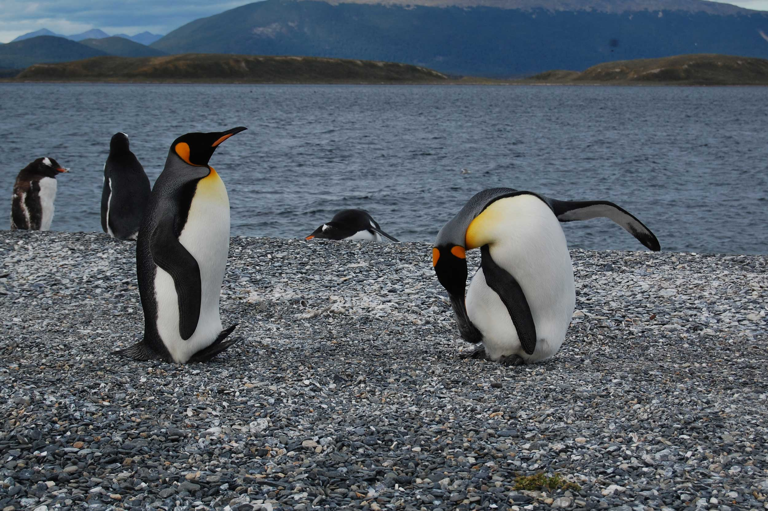 Two King penguins at Martillo Island. One scratching himself while an other one looks at him.
