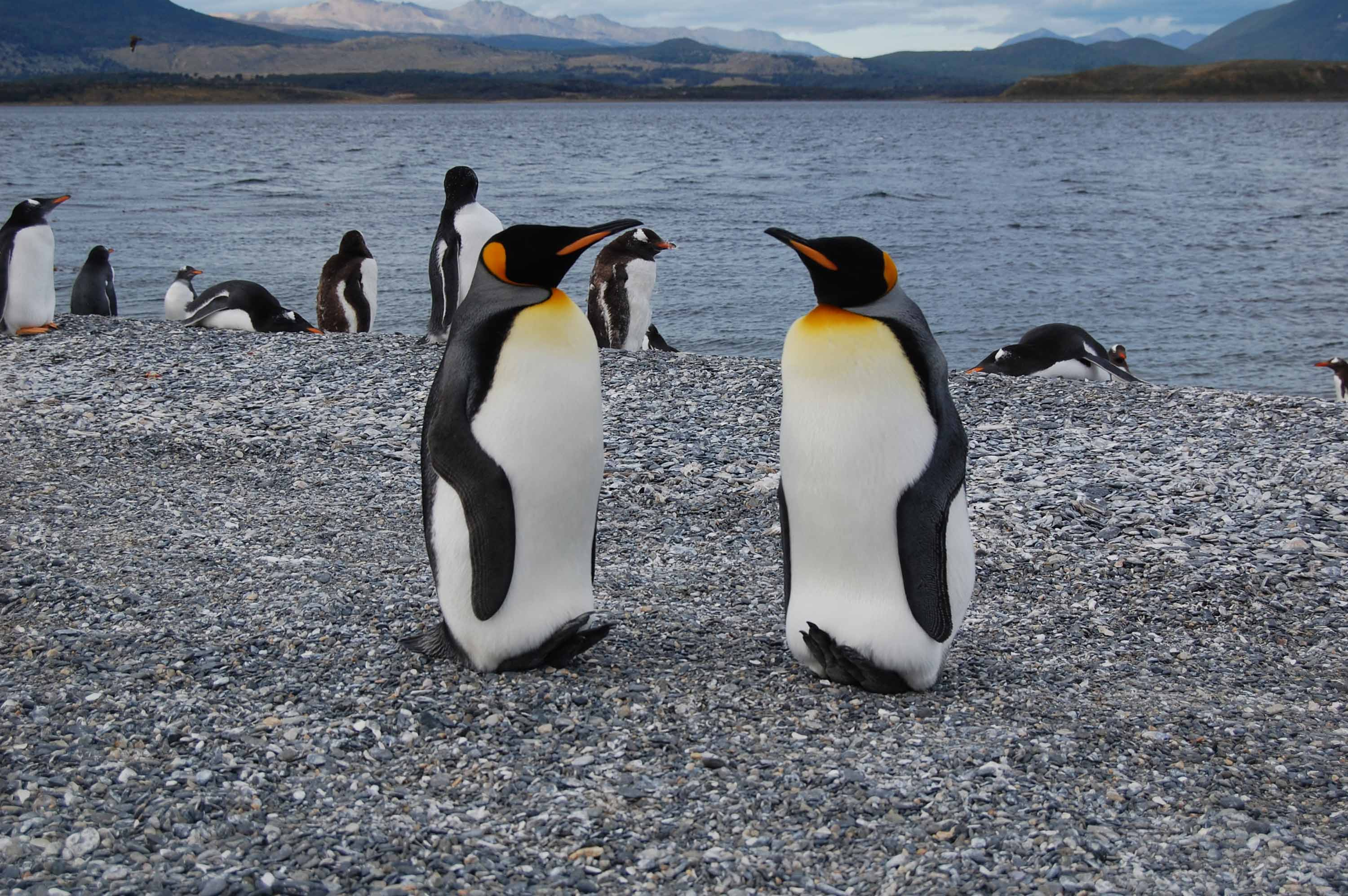 A couple of King penguins looking at each other romantically at Martillo Island.