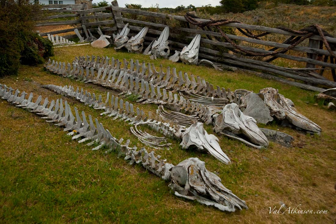 Bone Garden at Acatushun Museum, with 4 whale skeletons on the lawn.