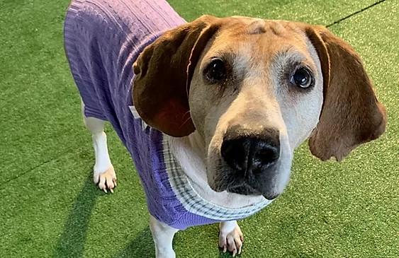 Female coonhound sporting a purple sweater