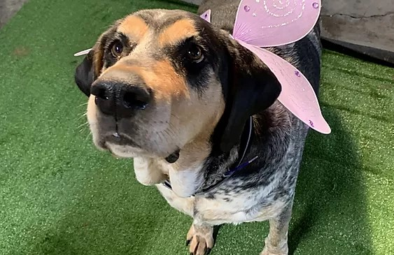 Big coonhound dog wearing pink butterfly wings