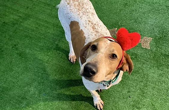 American English coonhound wearing a heart shaped hat