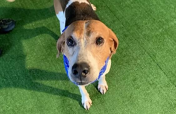 Spotted foxhound wearing a blue bandana