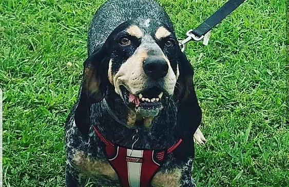 Black bluetick dog smiling big and wearing a red harness at the park