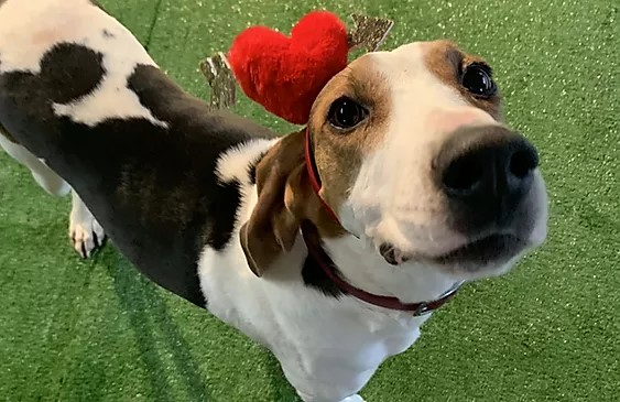 Small tree walker coonhound wearing a heart shaped hat