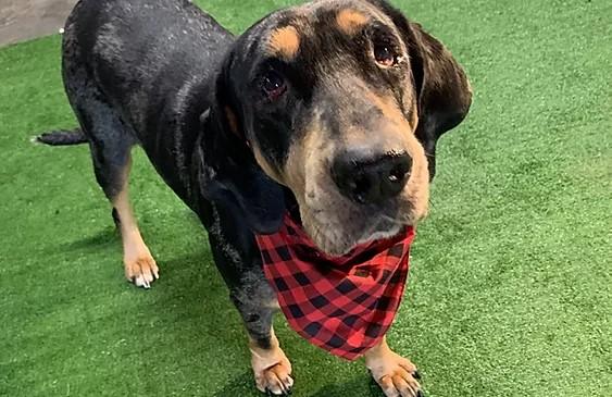 Black bluetick/catahoula mix dog wearing a chckered black and red bandana