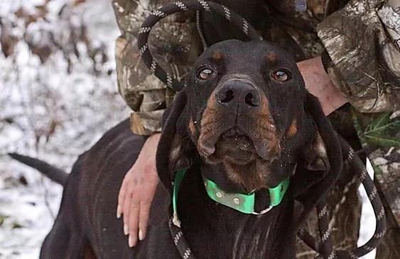 Big black and tan hound dog with an owner wearing camouflage as if they're on a hunt