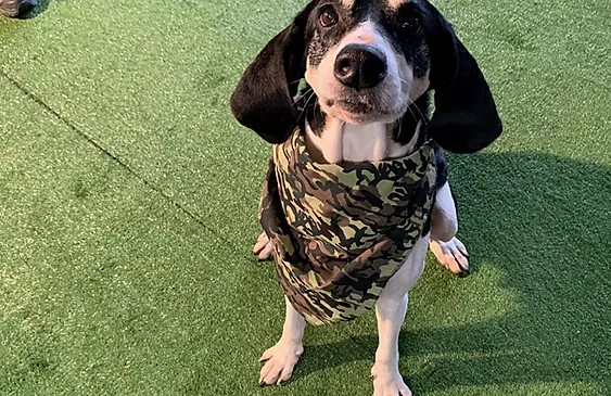 Tiny black and white foxhound mix wearing a camouflage bandanna
