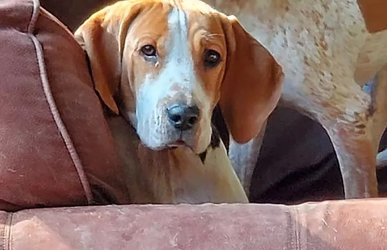 Brown and white two year old American foxhound resting on a couch