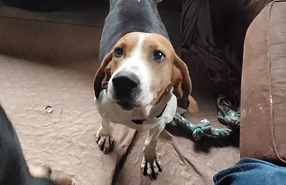 Medium sized brown, black, and white hound dog with three legs