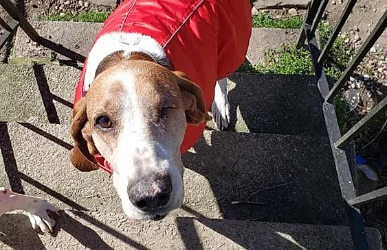 One eyed brown and white tree walker coonhound wearing a red jacket on some porch steps