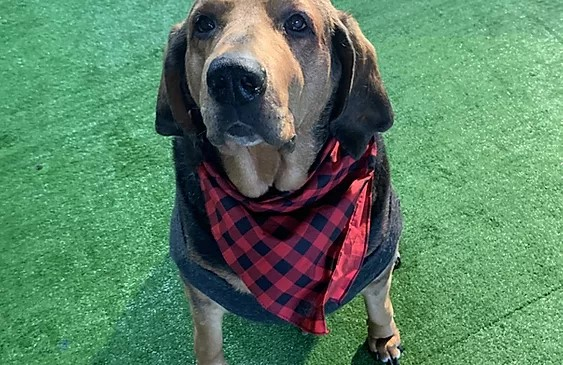 100+ pound hound dog who looks bear-ish wearing a checkered red and black bandanna