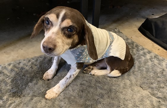 Tiny ten year old beagle wearing a white and grey winter sweater