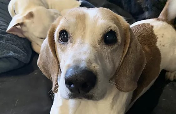 Close-up of a white beagle with big black eyes