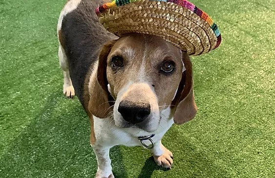 Nine year old brown, black, and white beagle dog wearing a Mexican hat as if he's celebrating Cinco de Mayo (inappropriately according to some)